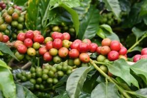 Coffee plant | Leonardo Bansko
